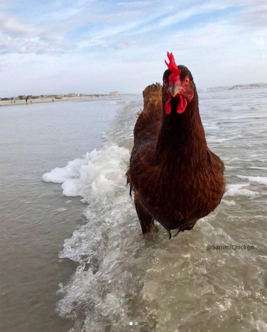 sammi-beach-chicken-7
